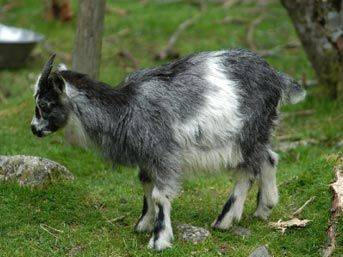DÜNYA HALİ: 54 bin dolara bir keçi satın aldı!..