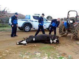 Ölü ineği satmaya götürürken yakalandı!
