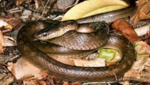 Nesli tükendiği sanılan yılan yeniden bulundu..