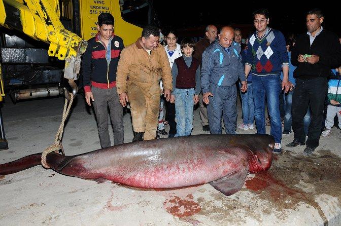 4 metrelik köpek balığı korkuttu