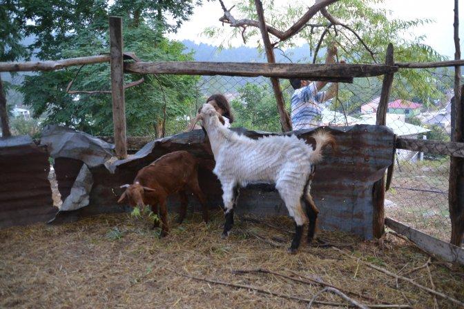 Çift cinsiyetli keçi görenleri şaşırtıyor