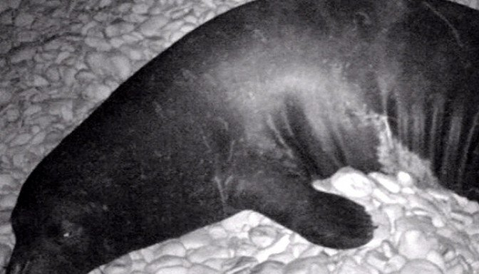 Akdeniz fokları kameralara yakalandı!