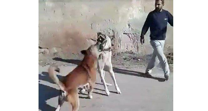 Köpeğini sokak köpeğiyle dövüştürdü!