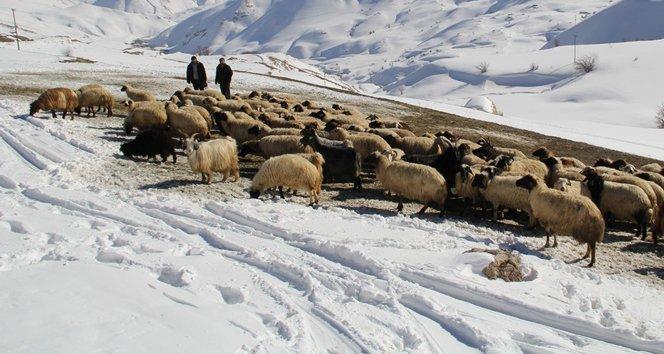 Zorlu kış şartlarında koyunlara bakıyorlar!