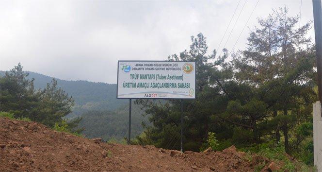 Köylüye yeni gelir kapısı trüf üretim ormanı!