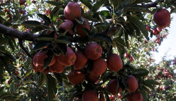 Meşhur Göksun'un elması hasada hazırlanıyor