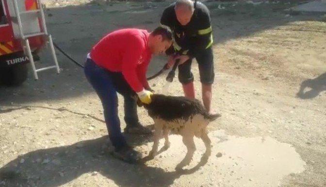 İnşaat temeline düşen Keçiyi kurtarmak için seferber oldular