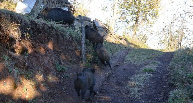 Aç kalan yaban domuzları köye indi!