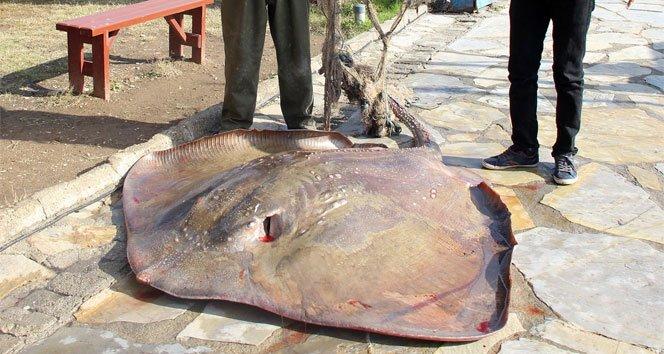 Ağlara 200 kiloluk vatoz takıldı!