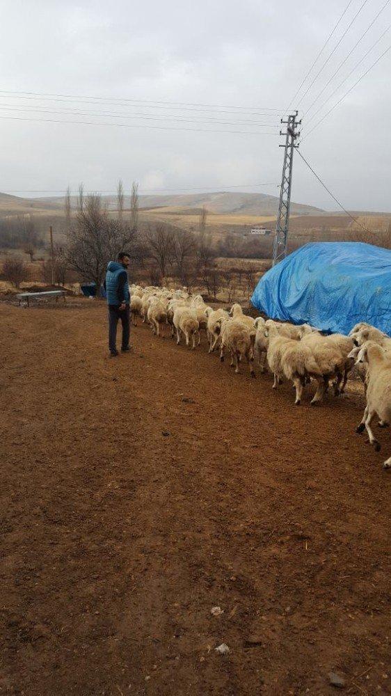 Önce Jandarmaya, sonra çalınan koyunlarına sarıldı