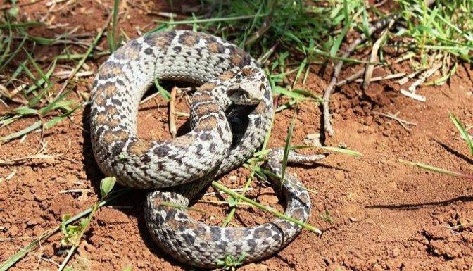 Nesli tükenmekte olan yılan bulundu