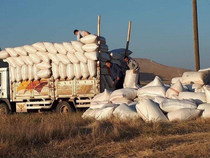 Saman fiyatı arpa ve buğday ile yarışıyor