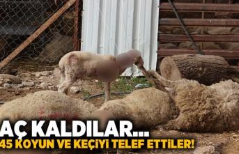 Aç kaldılar... 45 koyun ve keçiyi telef ettiler!