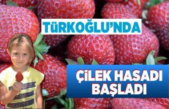 Türkoğlu'nda çilek hasadı başladı!