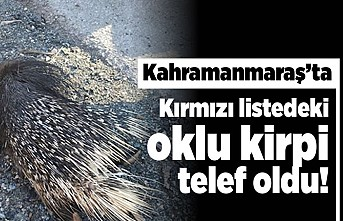 Kahramanmaraş'ta kırmızı listedeki oklu kirpi telef oldu!
