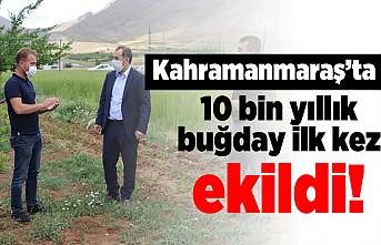 Kahramanmaraş'ta 10 bin yıllık buğday ilk kez ekildi!