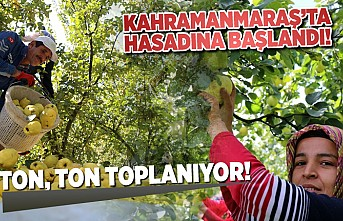 Kahramanmaraş'ta hasadına başlandı! ton ton toplanıyor!