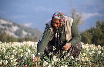 Darısekisi Örnek Köy Projesinin nergisleri çiçek açtı