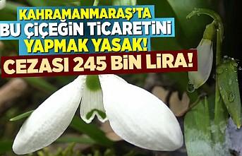 Kahramanmaraş'ta bu çiçeğin ticaretini yapmak yasak 245 bin lira cezası var!