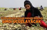 Adana'da soğan hasadı başladı! fiyatı şimdi düşecek