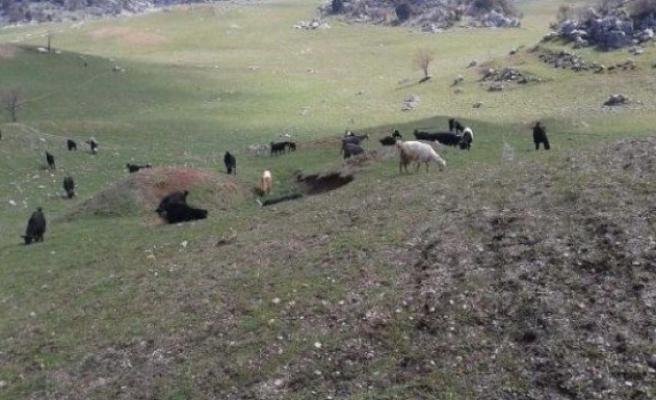 Aç kurtlar küçükbaş hayvan sürüsüne saldırdı