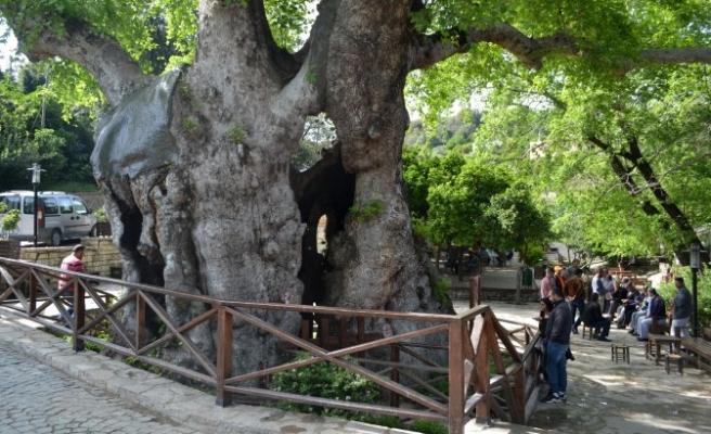 ''Musa Ağacı'' gelir kaynağı oldu