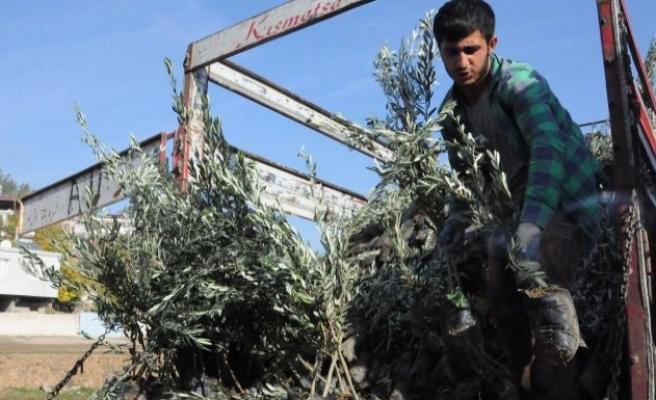 Türkoğlu'nda çiftçilere fidan ağıtımı
