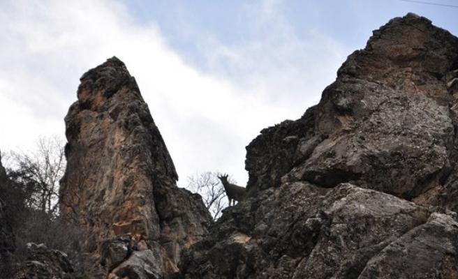 Dağ keçisi avlayanlara büyük ceza!