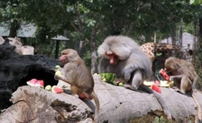Sıcaktan bunalan hayvanlara donmuş meyve!