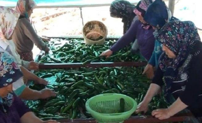 Çiftçiye Salatalık Piyangosu!