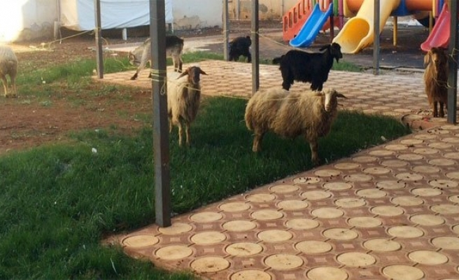 Koyun koyuna yolculuk!