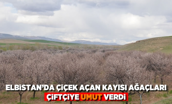 Elbistan'da çiçek açan kayısı ağaçları çiftçiye umut verdi!