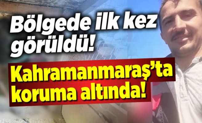 Bölgede ilk kez görüldü, Kahramanmaraş'ta koruma altına alındı!