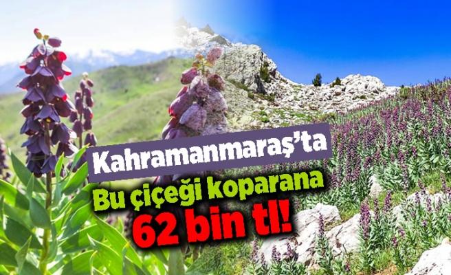 Kahramanmaraş'ta bu çiçeği koparana 62 bin tl!