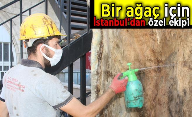 Bir ağaç için İstanbul'dan özel ekip!