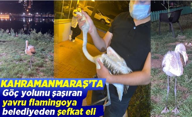 Kahramanmaraş'ta göç yolunu şaşıran yavru flamingoya belediyeden şefkat eli