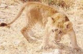 FLAŞ: Ali Sezal, aslan mı getirtti?