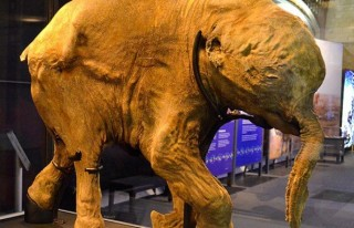 42 bin yıllık mamut yavrusu sergileniyor