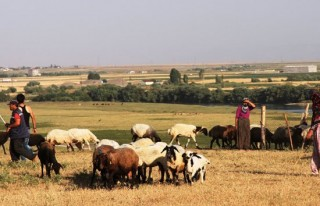 Aylık 4 bin TL'ye çoban aranıyor!