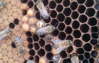 Akraba evliliği yapan arıların genetiği değişti!