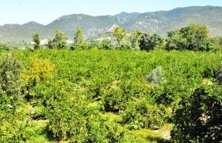 Andırın'da Güzelikler Bahçesi: Mandalina