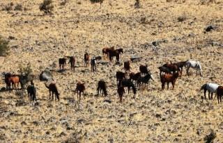 Sahipsiz atlar doğada yaşıyor