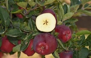 Göksun elmasının yüzde 95'i ihraç ediliyor!