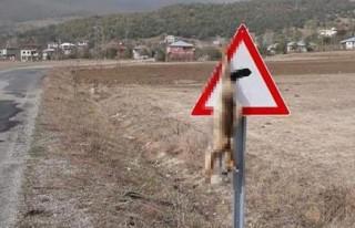 Tilkiyi trafik levhasına astılar