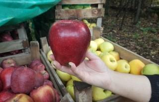 Dev elmalar görenleri şaşırtıyor