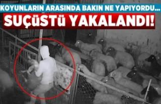 Koyunların arasında bakın ne yapıyordu... Suçüstü...