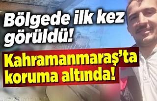 Bölgede ilk kez görüldü, Kahramanmaraş'ta...