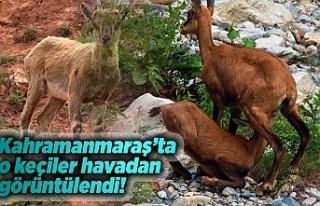 Kahramanmaraş'ta o keçiler havadan görüntülendi!