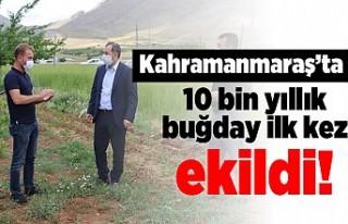 Kahramanmaraş'ta 10 bin yıllık buğday ilk...