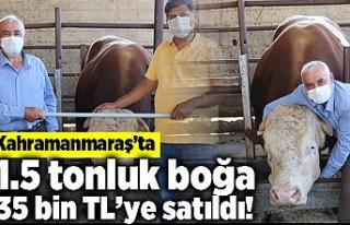 Kahramanmaraş'ta 1.5 tonluk boğa 35 bin TL'ye...